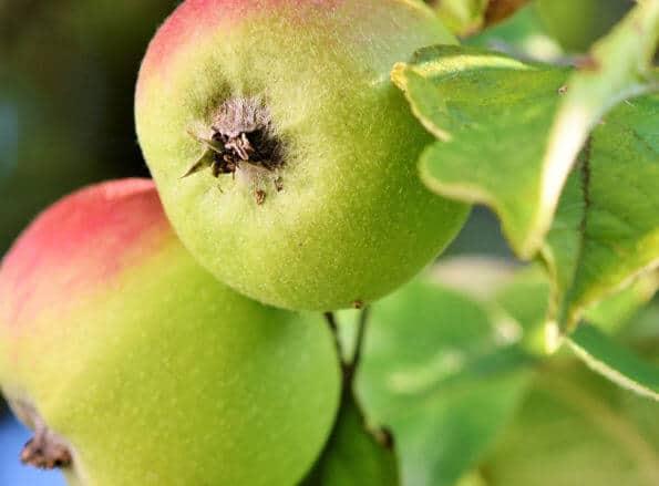 https://pt.rivulis.com/wp-content/uploads/2019/05/Apples_Pears-595x439.jpg