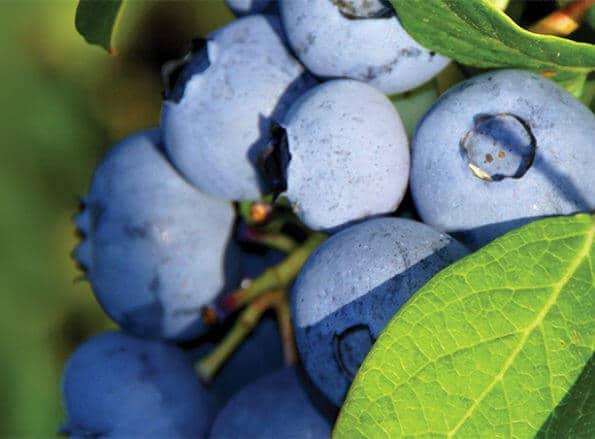 https://pt.rivulis.com/wp-content/uploads/2019/05/Blueberries_bg-595x439.jpg